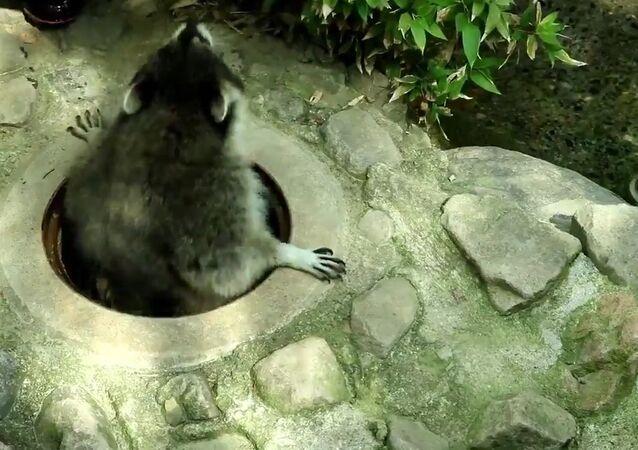 Charentacean zoo, raccoon