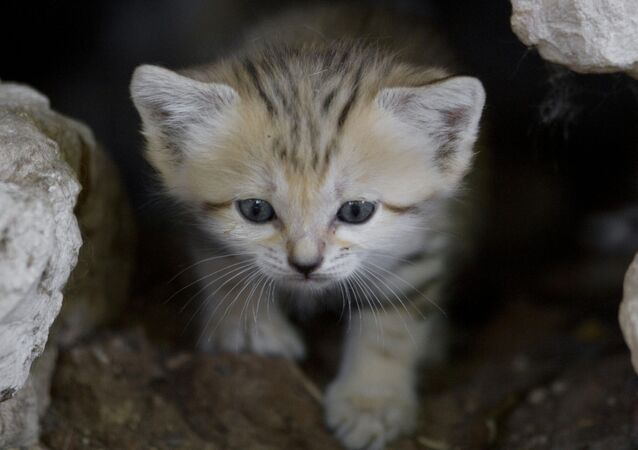 One of four 3-week-old newborn sand cats, peers from a cave in the Ramat Gan Safari near Tel Aviv, Israel, Tuesday, Aug. 14, 2012