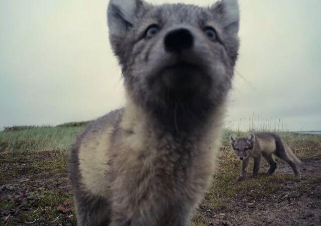 Arctic Foxes Destroy Filmmaker's Camera
