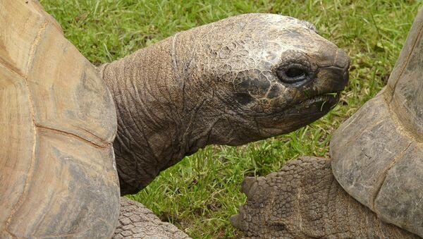 Giant tortoise - Sputnik International