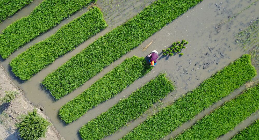 Villagers plant rice in a field in Lianyungang, in China's eastern Jiangsu province on June 4, 2017