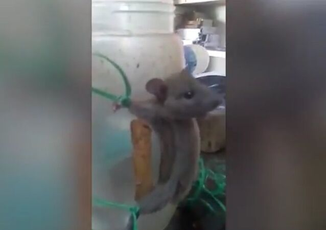 Shop Assistant ties up mouse and whips it for taking nourishment in a shocking video