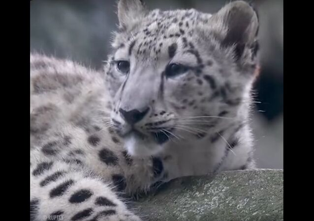 Grandson of the Leopard Leo