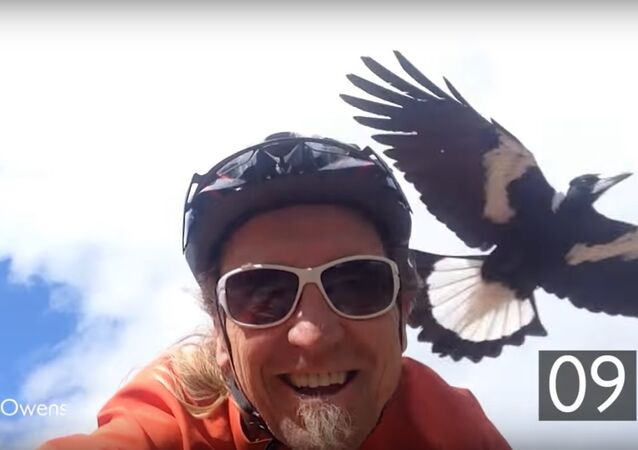 Vendetta Magpie Swoops At Cyclist