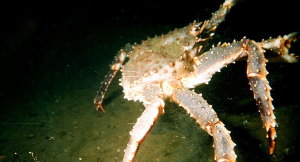Large male red king crab (Paralithodes camtschaticus) in the Barents Sea
