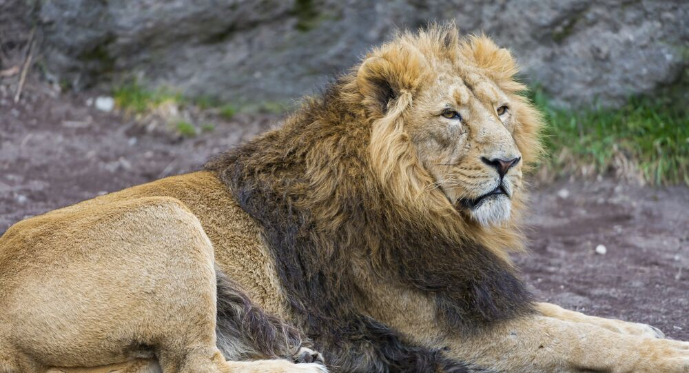 The male Asiatic lion