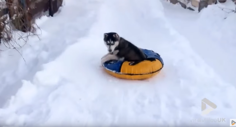 'Again, Again!' Russian Husky's Snow Tubing Obsession