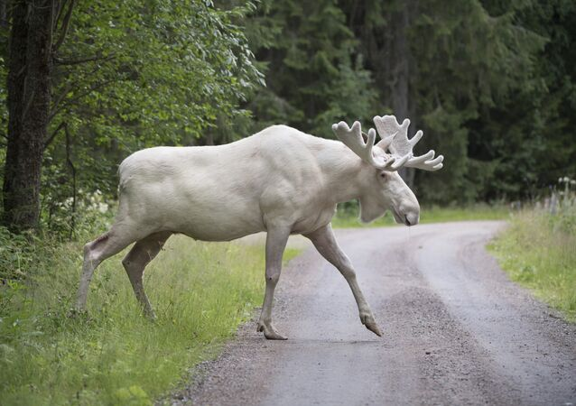 This picture taken on July 31, 2017 shows a rare white moose in Gunnarskog, Vaermland County, Sweden