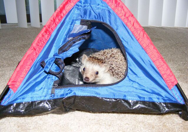 African hedgehog (not Bernie)