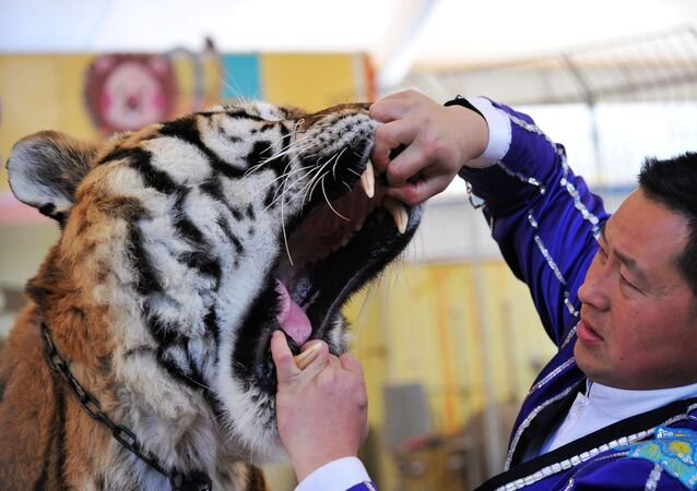 A trainer opens a tiger's mouth to have its teeth examined by a veterinarian at a wildlife park in Qingdao, Shandong province, China November 21, 2017