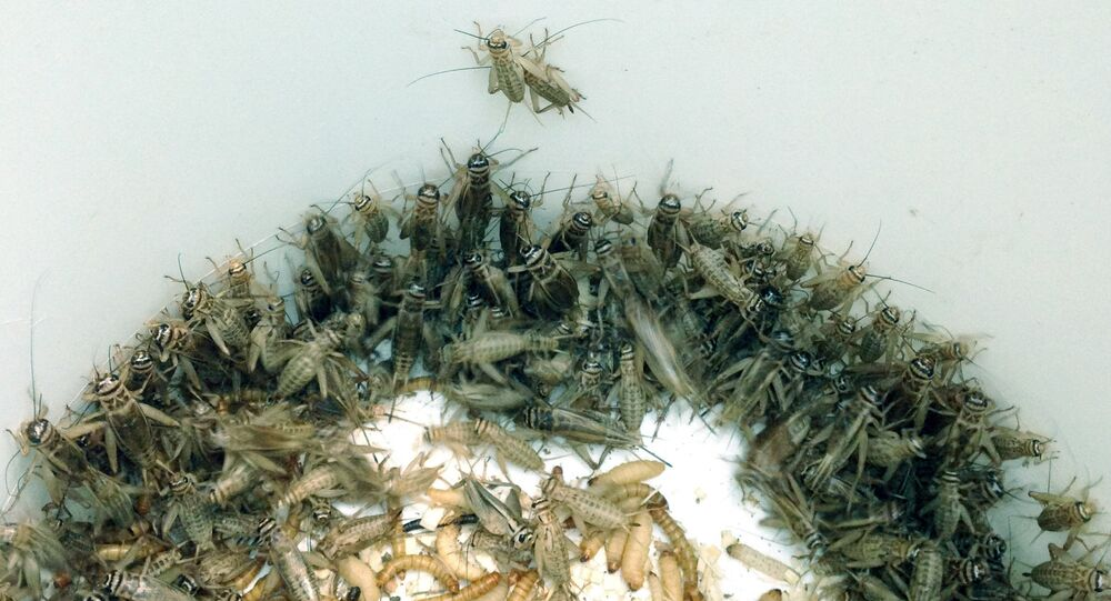 In an Oct. 7, 2015, photo, a bucket of crickets are seen in the Detroit Zoo's cricket breeding area in Royal Oak, Mich.