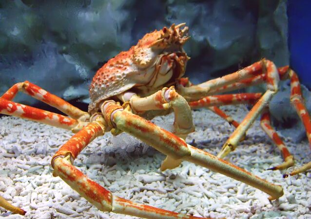 A Japanese spider crab at the Manila Ocean Park, the Philippines