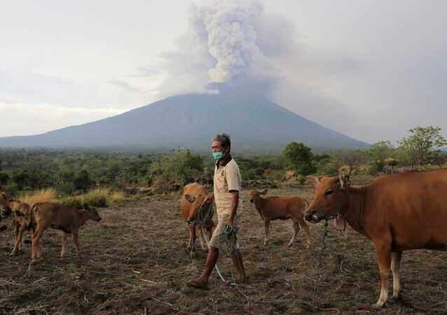 A farmer walks with his cattle as Mount Agung volcano erupts in the background in Karangasem, Bali, Indonesia November 28, 2017
