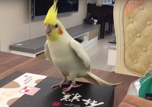 Tap Dance from a Cockatiel Named Totoro