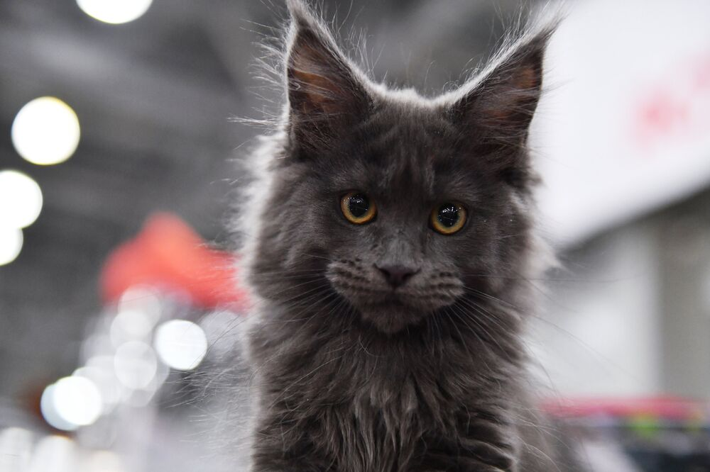 A Maine-Coon cat at the 2017 Royal Canin Grand Prix international show in Moscow