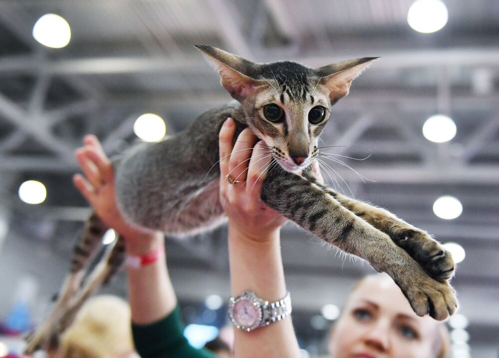 An Oriental cat at the 2017 Royal Canin Grand Prix international show in Moscow