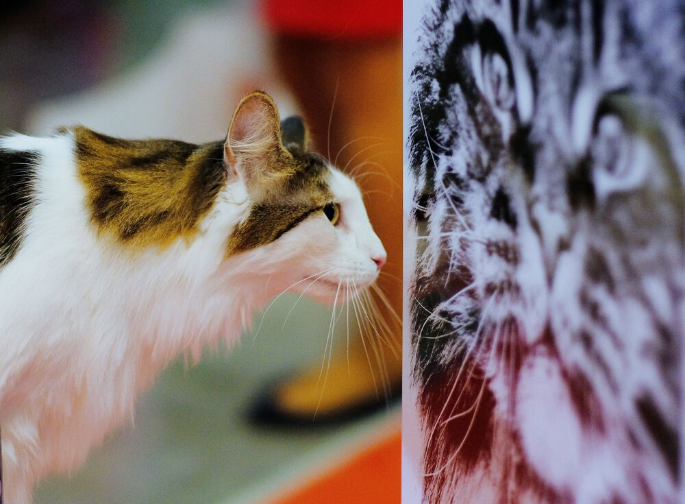 A cat at the 2017 Royal Canin Grand Prix international show in Moscow