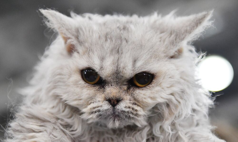 Selkirk Rex cat at the 2017 Royal Canin Grand Prix international show in Moscow
