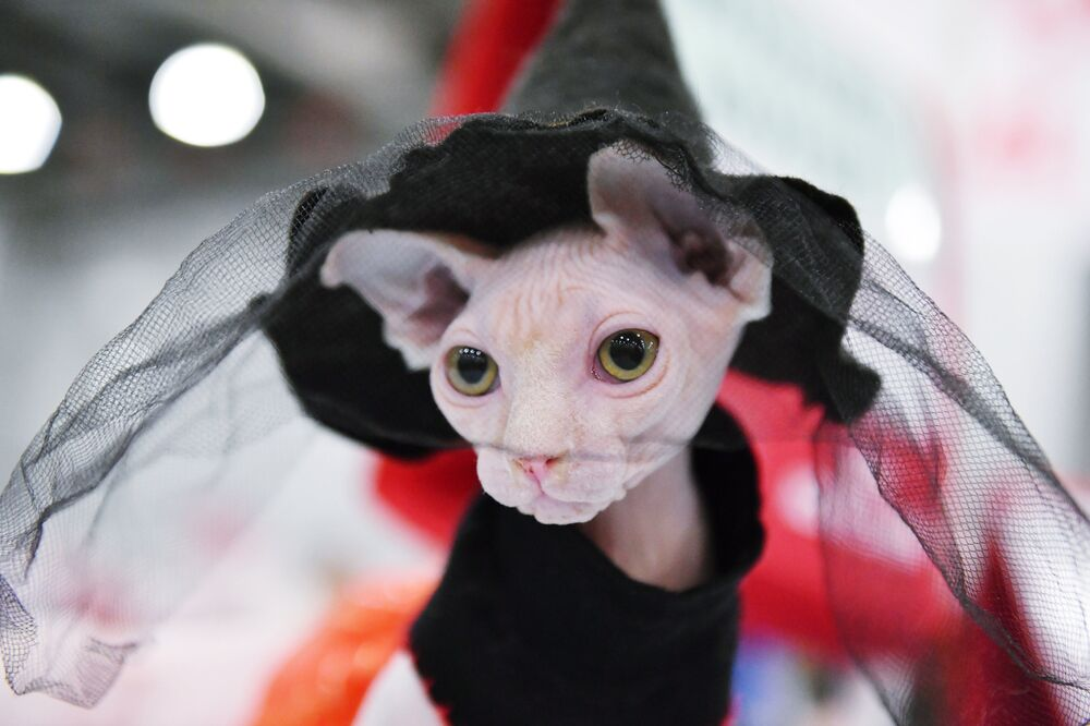 A Canadian Sphynx cat at the 2017 Royal Canin Grand Prix international show in Moscow