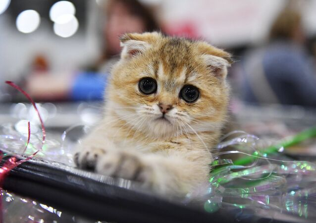 A Scottish Fold cat at the 2017 Royal Canin Grand Prix international show in Moscow