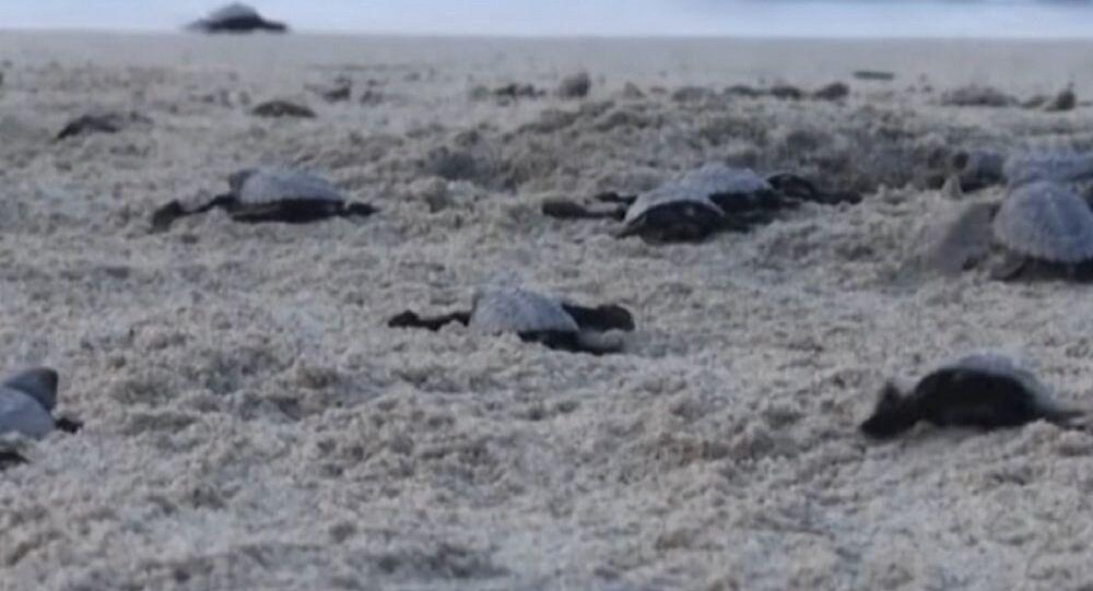 Newborn Sea Turtles Make Their Way to the Pacific Ocean