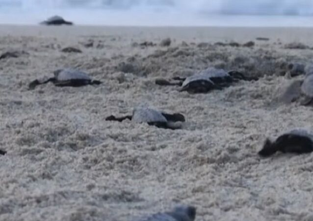 Newborn Sea Turtles Make Their Way to the Pacific Ocean