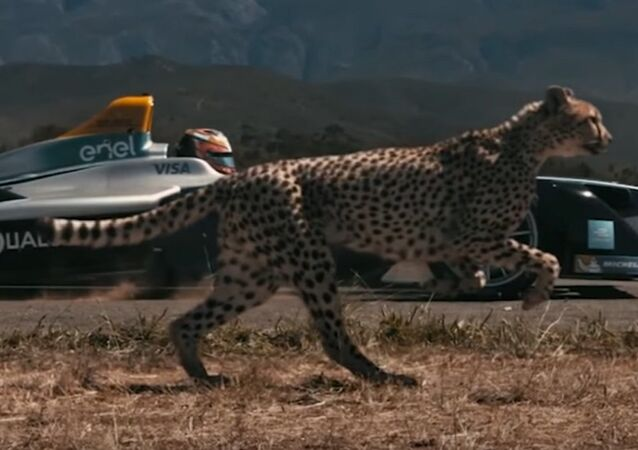 Cheetah vs. Race Car