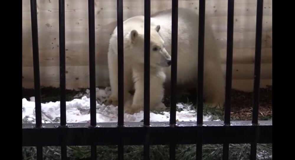 Polar Bear Lives at the St. Petersburg Zoo