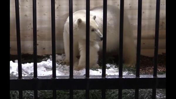 Polar Bear Lives at the St. Petersburg Zoo - Sputnik International