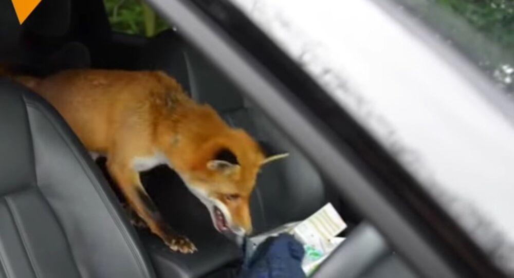 Meet Jasper The Pet Fox