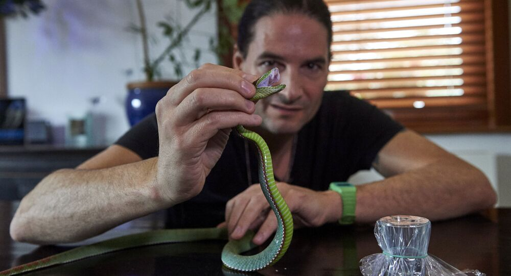 Steve Ludwin holds a Pope's Pit Viper after extracting its venom at his apartment in Kennington, south London on November 9, 2017