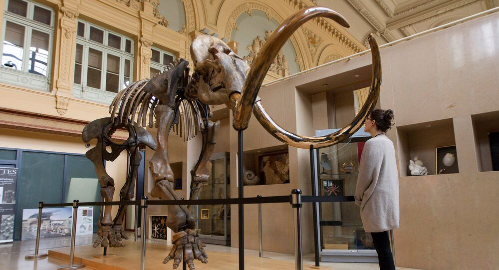 A visitor looks at a complete mammoth skeleton that is displayed before its auction by Aguttes auction house in Lyon, France, November 17, 2017
