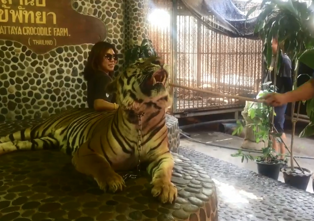 Footage shows staff from Thai zoo jabbing tiger in the face for tourist photos