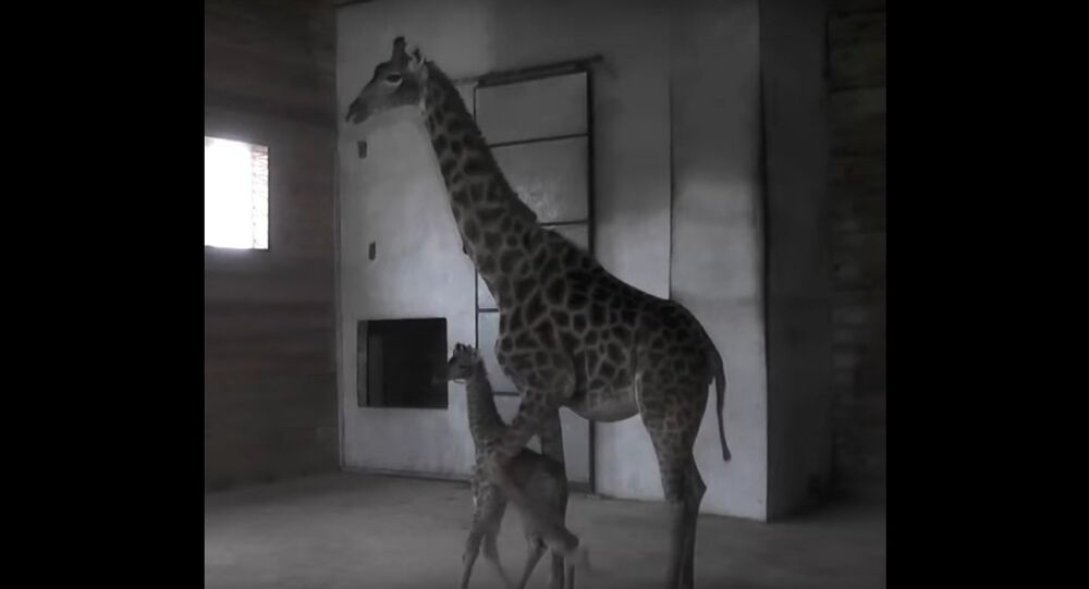 A Giraffe Has Been Born at the Crimean Safari Park