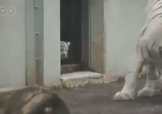 White tiger kitten scares his mom!