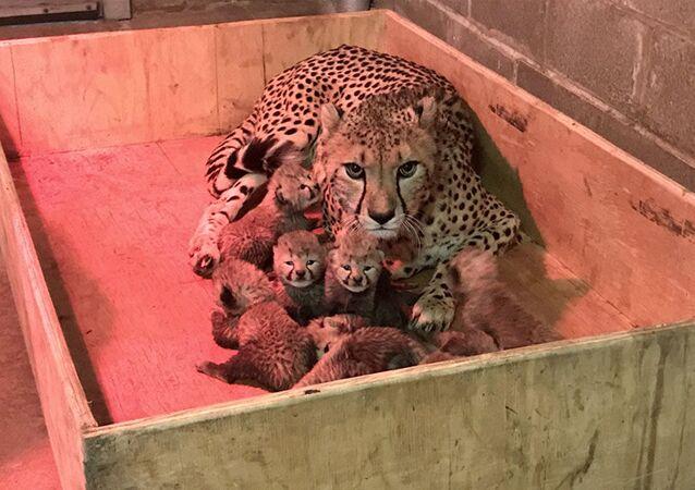 A cheetah at the St. Louis zoo