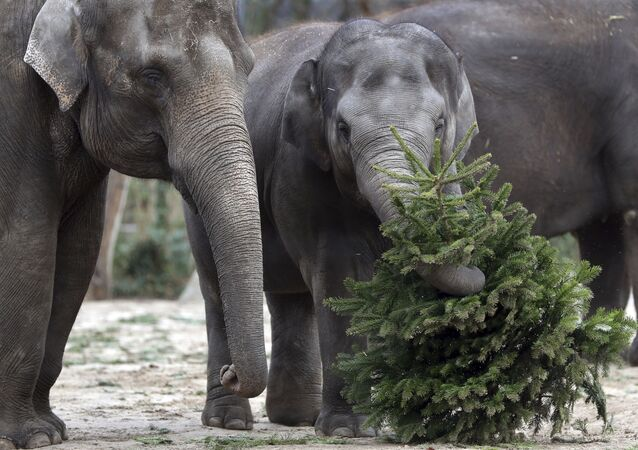 Elephant 'Anchali' lifts a Christmas tree at its enclosure at the Zoo in Berlin, Germany, Tuesday, Jan. 2, 2018