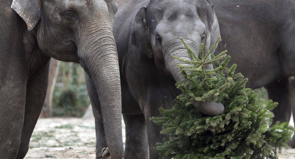 Elephant 'Anchali' lifts a Christmas tree at its enclosure at the Zoo in Berlin, Germany, Tuesday, Jan. 2, 2018