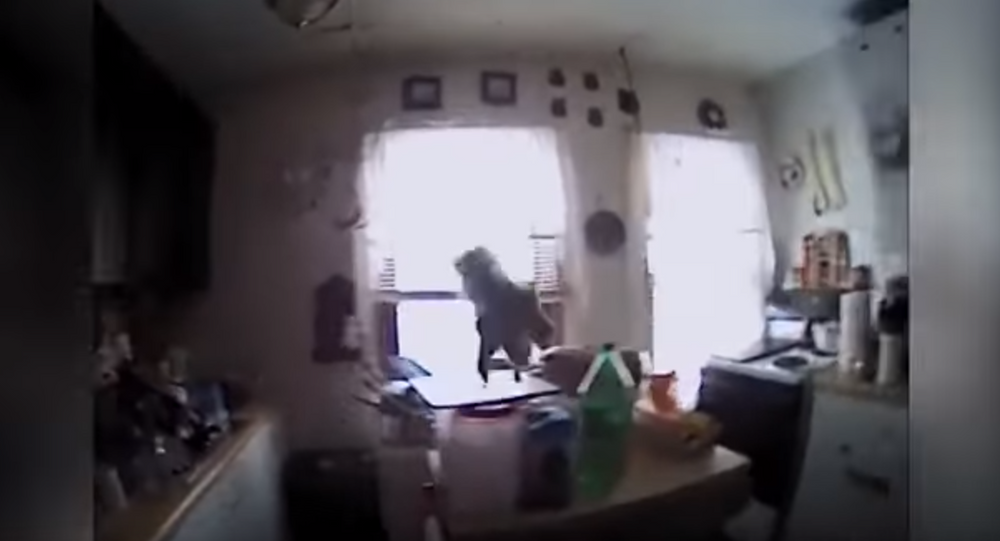 New Year, No Trees: Scrappy Squirrel Invades New York Home