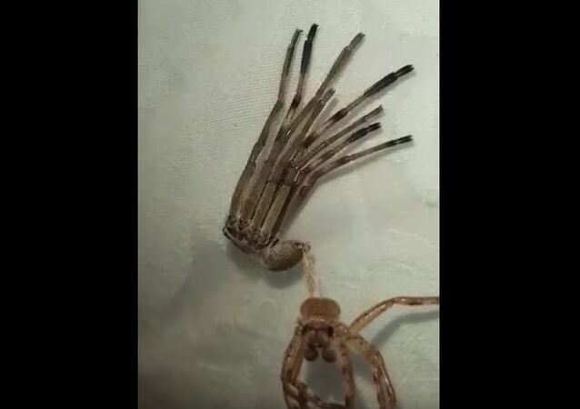 Huntsman Spider Shedding its Skin || ViralHog