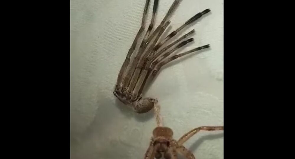Huntsman Spider Shedding its Skin || ViralHog