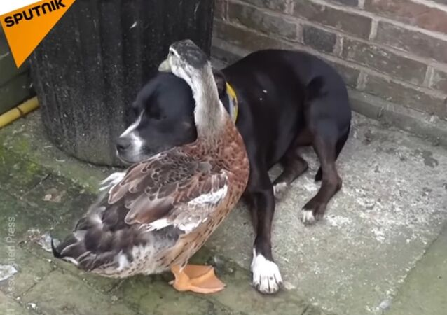 Duck Is In Love With Dog