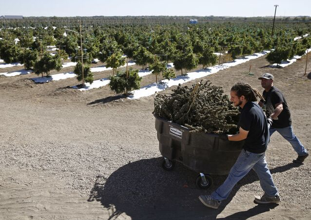 In this Oct. 4, 2016 photo, farmworkers transport newly-harvested marijuana plants, at Los Suenos Farms, America's largest legal open air marijuana farm, in Avondale, southern Colo. For the fall 2016 harvest, the farm's 36-acres are expected to yield 5 to 6 tons.