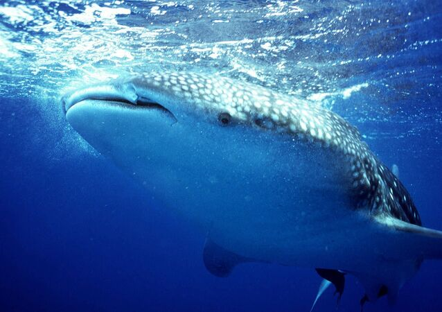A whale shark swims off the coast of Belize
