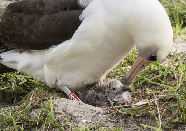 Pacific Region shows Wisdom and her new chick at the Midway Atoll National Wildlife Refuge and Battle of Midway National Memorial in the Papahanaumokuakea Marine National Monument. (File)