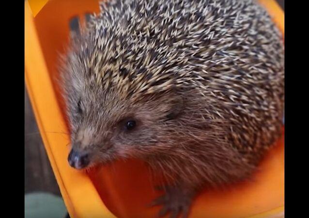 Wildlife Hospital Puts Fat Hedgehog on Diet