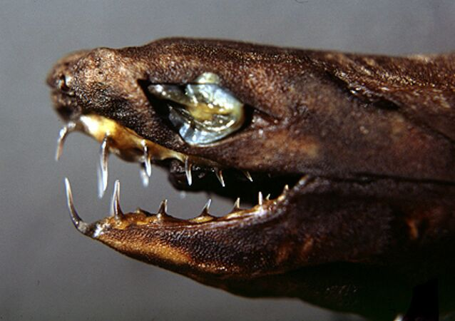 Viper dogfish