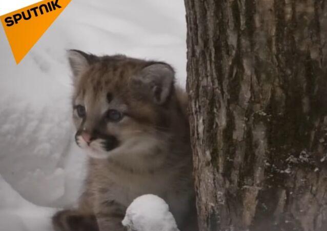 Cougar Cub Settling In At Novosibirsk Zoo