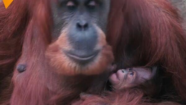 Orangutan Poses With Her Baby - Sputnik International