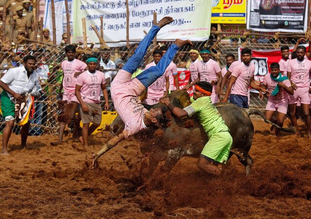 A villager is pinned down by a bull as another attempts to control him during the annual bull-taming festival called Jallikattu, which is part of south India's Pongal harvest festival of Pongal, on the outskirts of the southern city of Madurai, India, January 15, 2018